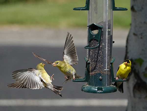 Finches fight over food at a bird feeder.