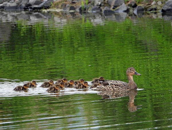 A mallard hen and her ducklings swim in the water.