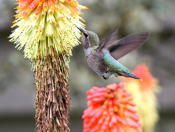 An Anna's Hummingbird sips nectar from a Red Hot Poker plant.