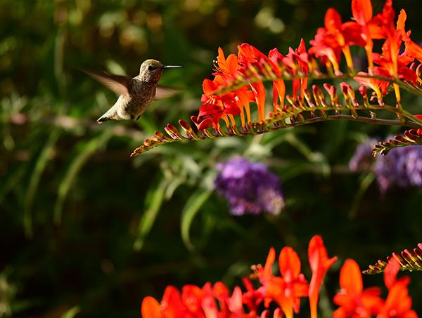 A hummingbird approaches a red flower.