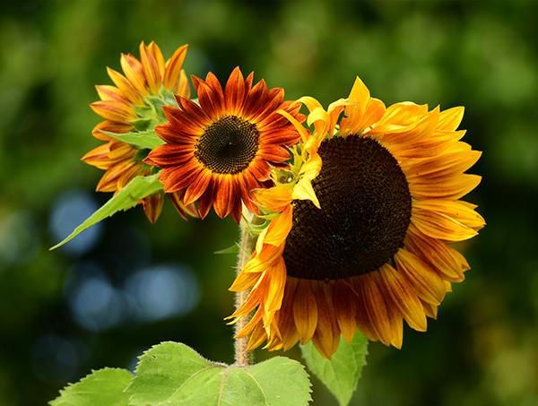 Three sunflowers of varying sizes.