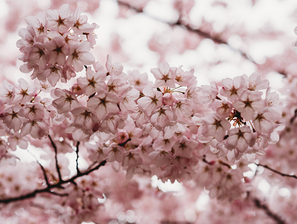 Pink cherry blossoms.