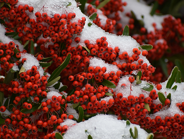 Red berries on snow-covered green leaves.