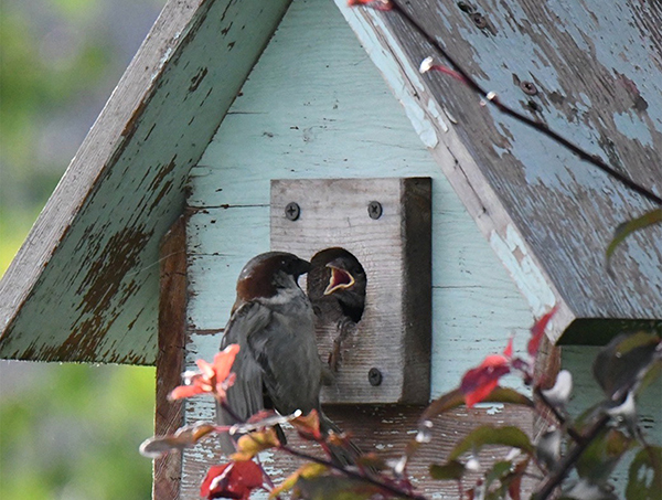 A fledgling inside a birdhouse is fed by a sparrow.