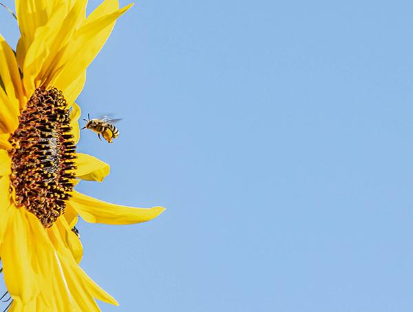 A honeybee approaches a sunflower.