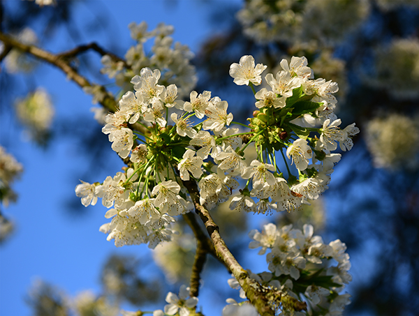 A closeup of the blossoms of a cherry tree.
