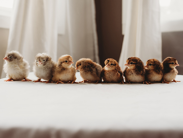 Eight newborn chicks sit on a table.