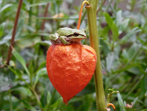 A green frog sits on a Chinese lantern plant.