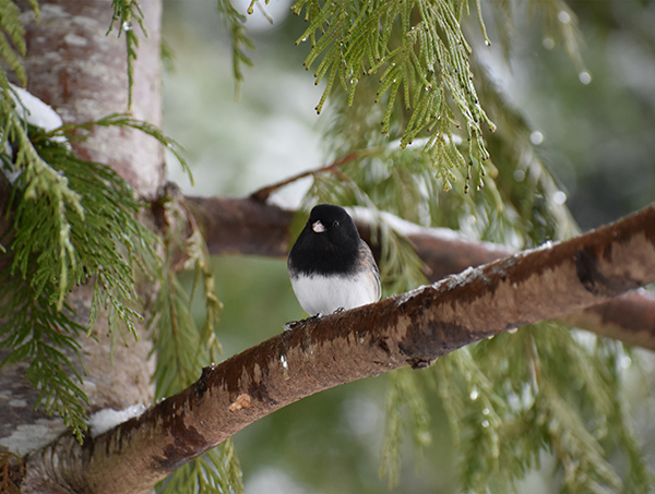An Oregon Junco rests on a snowy tree branch.