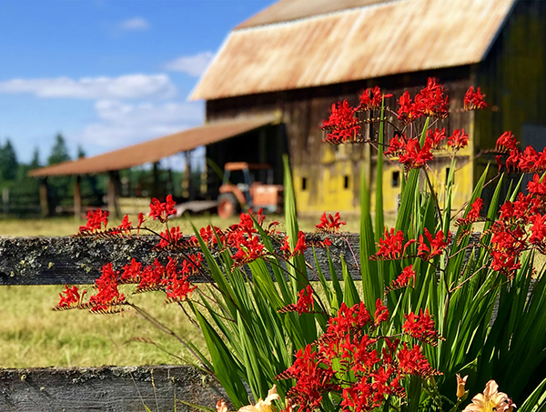 Red flowers in the foreground with an old barn in the background.