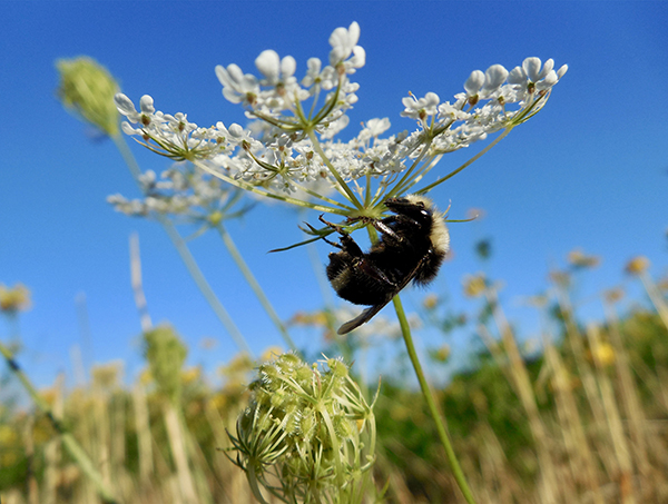 A bumblebee clings upside down to the bottom of a plant.