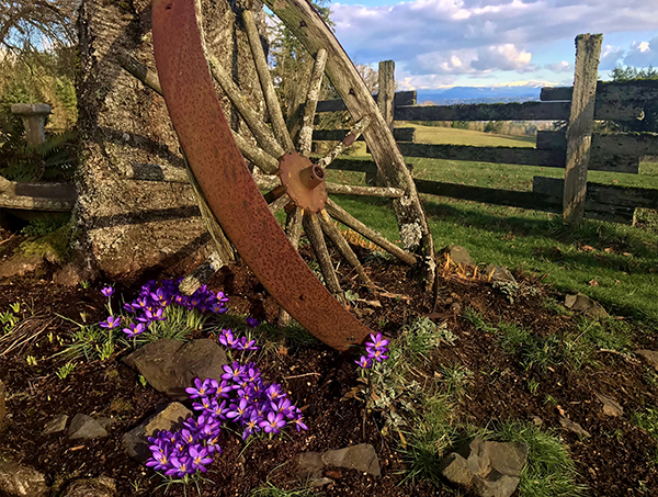 Crocus grows on the ground near a rusted wagon wheel leaning against a tree.