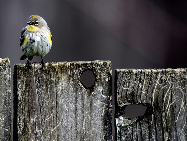 A Yellow-rumped Warbler sits on a wooden fence.