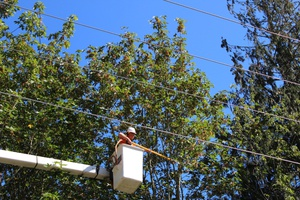 Utility lineman, raised in bucket truck and trimming trees near power lines.